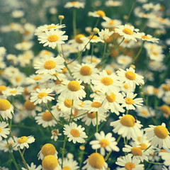 Chamomile flowers in retro style