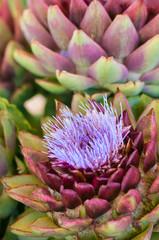 Artischockenblüte, Cynara cardunculus, Edelgemüse