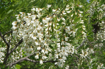 Flowering of white acacia spring
