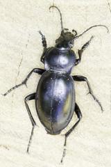 Carabus glabratus / smooth ground beetle