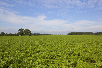 sugar beet field in summer