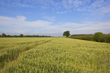 yorkshire wheat field
