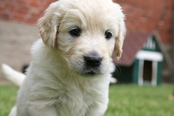 Golden-Retriever-Welpe_2