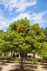 Pianta di arance