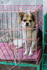 Chihuahua in cage