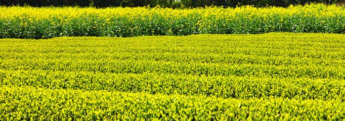 茶畑と菜の花