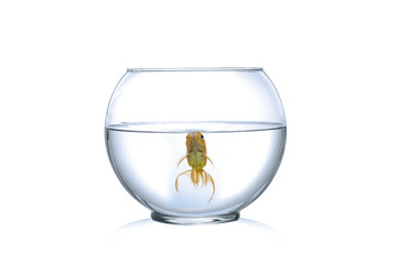 Gold fish in fish bowl, on white: Clipping path
