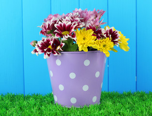 colorful chrysanthemums in violet bucket with white polka dot
