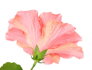 Red Hibiscus flower, close-up, isolated on white