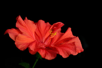 Red Hibiscus flower, close-up, isolated on black