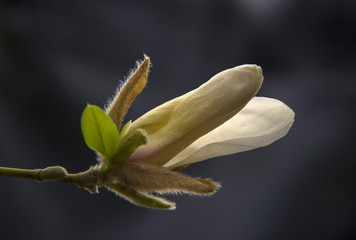 White magnolia flower on a tree branch