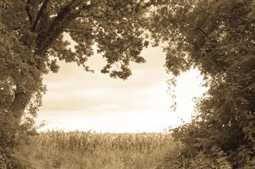 Maisfeld am Wald