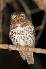 African barred owlet (Glaucidium capense)