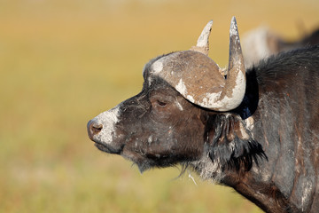 Portrait of mud covered African or Cape buffalo
