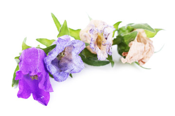 Beautiful blue bell flowers  isolated on white