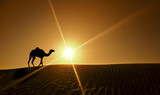 Silhouette of a camel walking alone in the Dubai desert