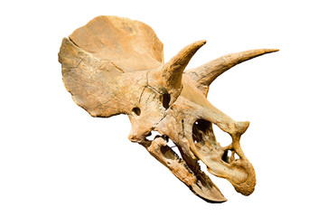 Triceratops Fossil skull over white isolated background.