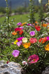 different colors of moss rose flowers