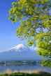 富士とアカシヤの新緑