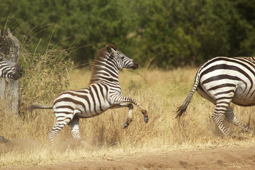 A young zebra gallopping