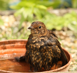 Hot baby female Blackbird cooling down