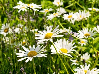 Meadow with blossoming oxeye daisies in summer.