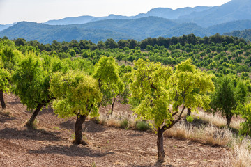 Almond trees with Ports de Besseit Mountains in the background