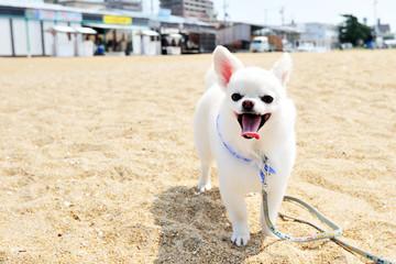 砂浜と白いチワワ