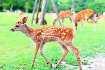 Sika Deer (Cervus nippon) fawn in Japan