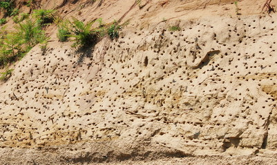 Colony of swallows, Active Sand Martin breeding colony