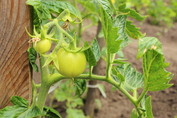Branch of green tomatoes in garden