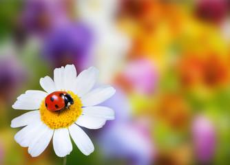 Ladybug on daisy flower