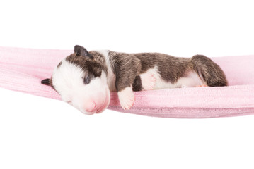 adorable newborn bull terrier puppy