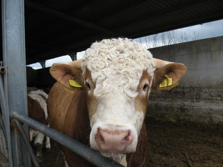 Cow with curly hair