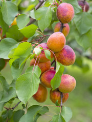 apricots on the tree