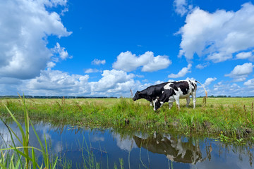 cows on pasture over blue sky