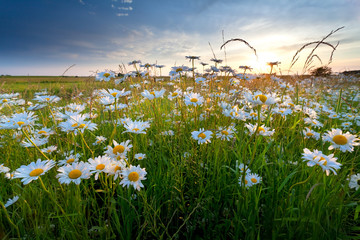 chamomile flowers in gold sunset light