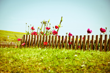 Poppy field and wood fence