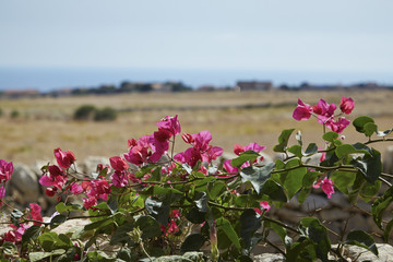 Italy, Sicily, countryside, red bouganvilleas