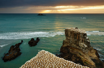Gannet colony, New Zealand