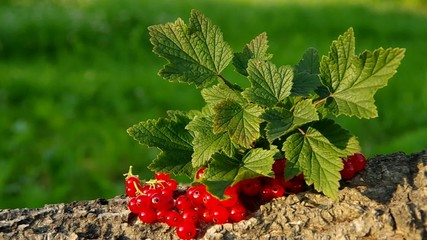 Red currant on a green background