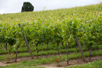 Vineyard in the famous wine making region - Loire Valley