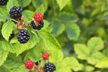 Close up of Blackberries