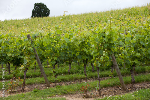 In de dag Wijngaard Vineyard in the famous wine making region - Loire Valley