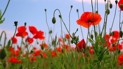 Red Poppies and Other Steppe Vegetation
