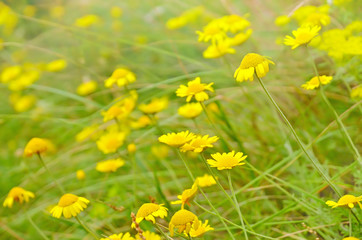 Anthemis tinctoria flowers on meadow