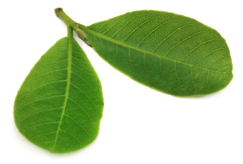 Leaves of Medicinal Terminalia arjuna