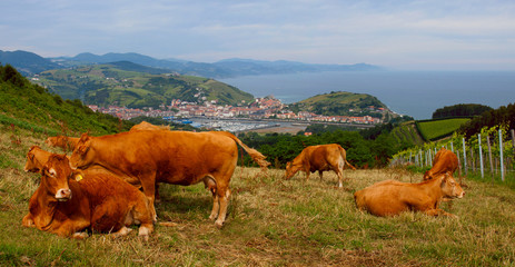 Cows eating grass in a farm, Zumaia