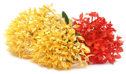 Yellow and red ixora