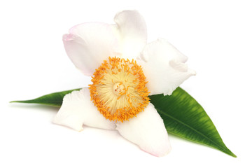 Mesua ferrea or Nageshwar flower of Indian subcontinent